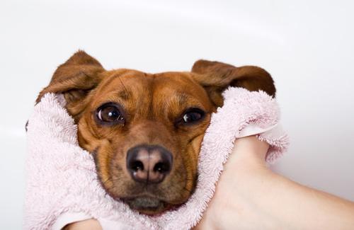 pet-spaw-lounge-dog-pink-towel